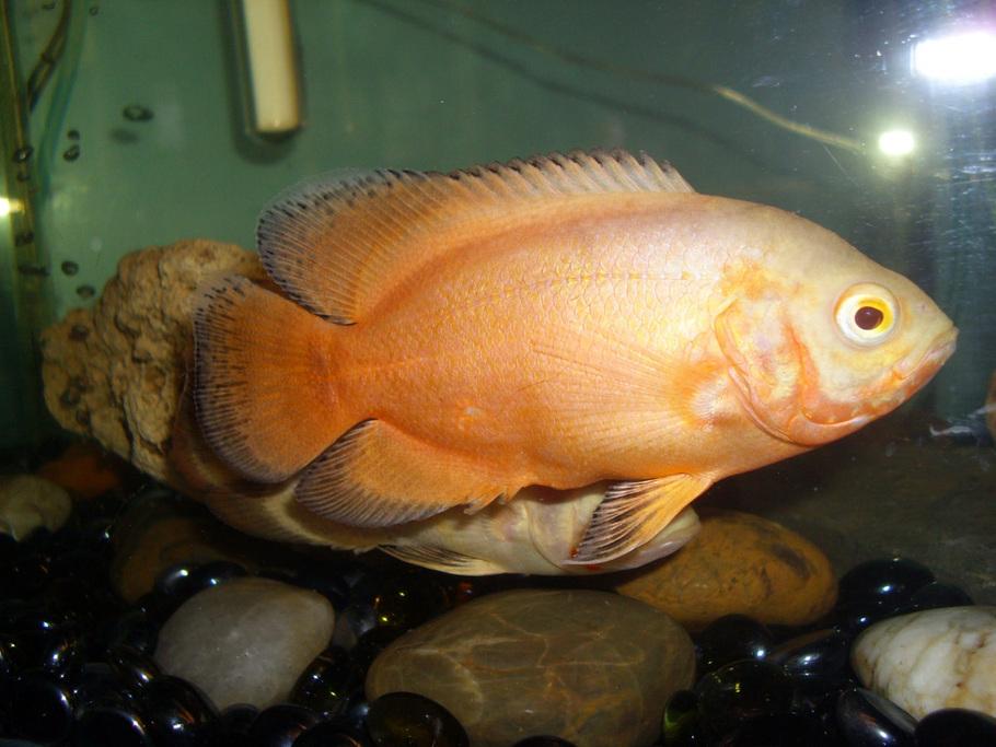 lemon oscar fish - photo #16