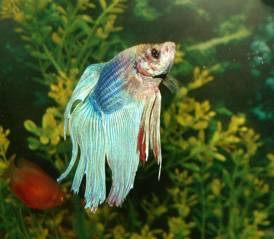 Can you keep other fish with your betta for Can betta fish live with other fish