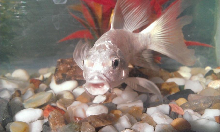 Aquarium milky carp fish - photo#22