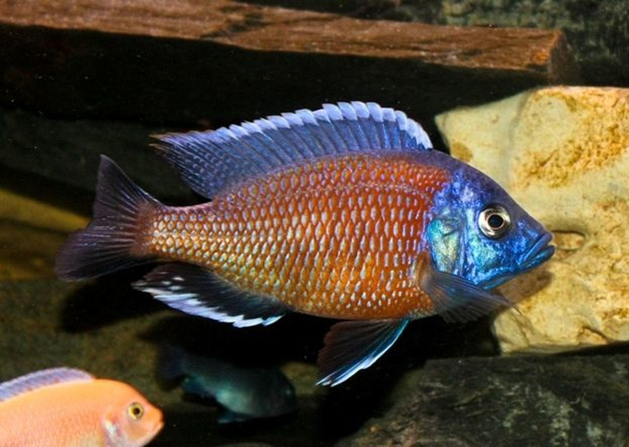 Mikavaha 39 s freshwater fish photo id 26246 full version Freshwater fish with red fins