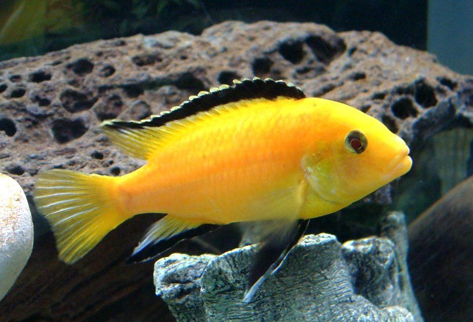 yellow cichlid fish - photo #17