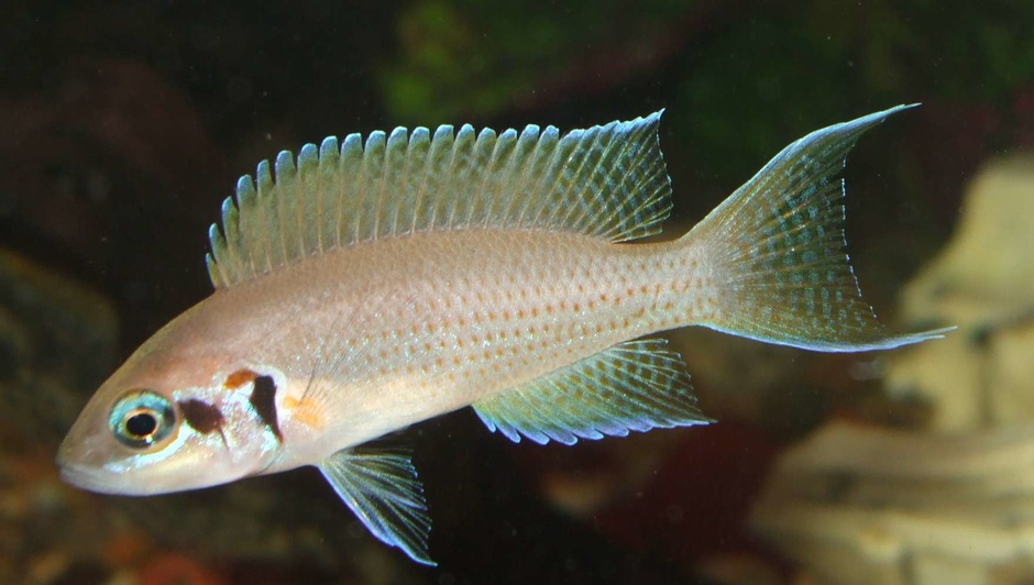 Brichardi Cichlid (Neolamprologus Brichardi) Photo Picture ID 10312