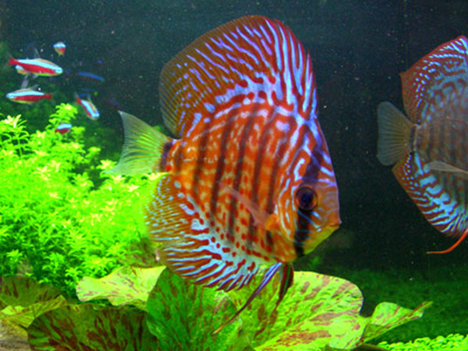 how to reduce aggression in discus fish