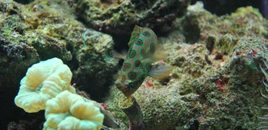Goby Mr Rogers