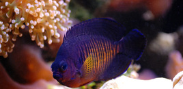 Coral Beauty Angel in 125 reef