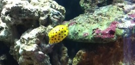More Dotty the Yellow Boxfish  Loving her new home!!Eating well and loving the exploring!
