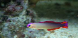 Purple Firefish Nemateleotris decora
