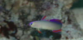Purple Firefish Nemateleotris decora  Im Outta here