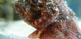 KrayZ Stonefish