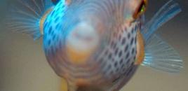 Valentinnis sharpnose puffer