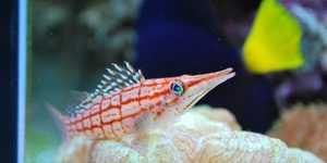 Long nose hawkfish We call Marlin