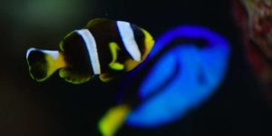 Clownfish and Blue Hippo Tang