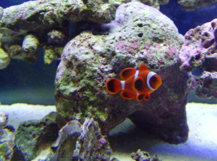 Community saltwater fish clowns foto bugil bokep 2017 for Community saltwater fish