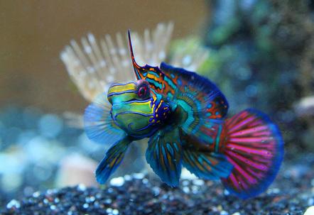 Mandarinfish or Mandarin Dragonet Synchiropus splendidus