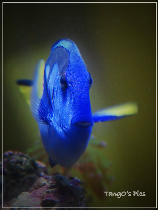 Most beautiful saltwater fish 2008 for Blue tang fish price