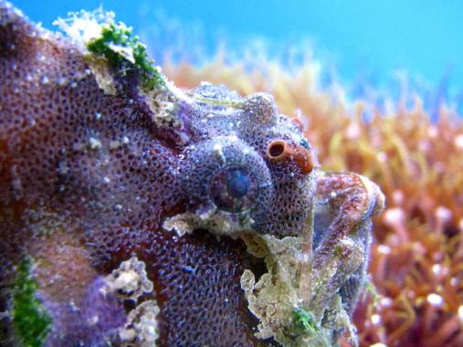sargassum angler