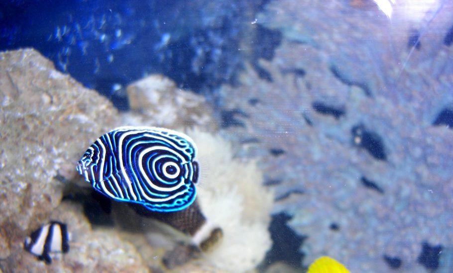 Black angelfish saltwater