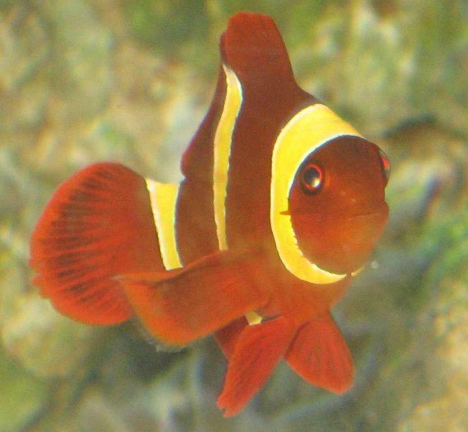 Clownfish  Saltwaterfishcom