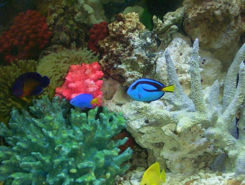 Blue tang paracanthurus hepatus photos for Blue saltwater fish