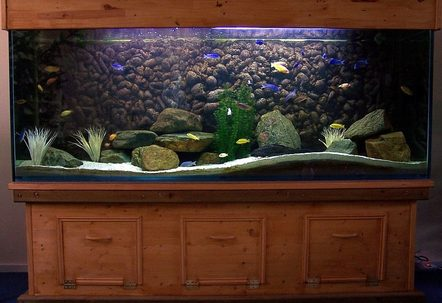 This is my 240 gallon Malawi tank with about 50 Malawi cichlids and 1 Pleco
