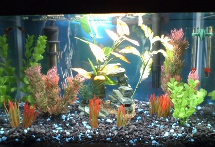 Freshwater 5GL Tank 3 weeks old  Starter fish only