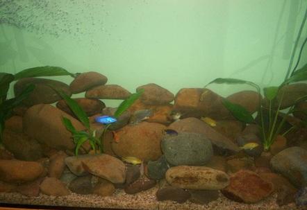 Lances CICHLIDS Brendans Goldfish and some random plants