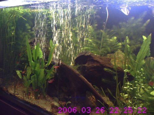 22809 frill plant over growing tank with diy co2 and flourish excel recently added Jaguar SynodontisHybrid Clown Pleco L002 Bristlenose Pleco Chinese Butterfly Loach and Flying Fox