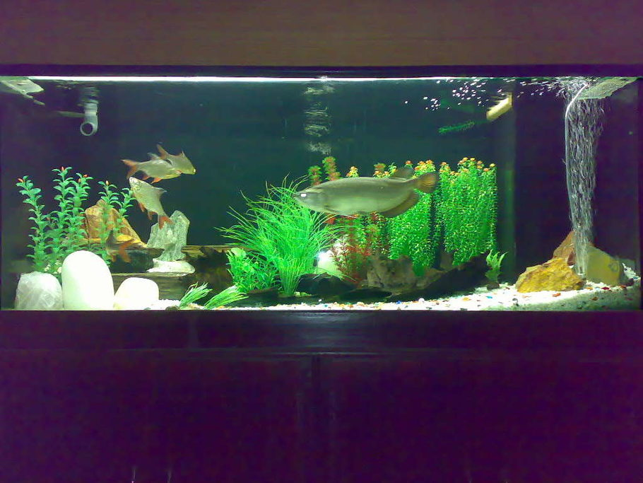 Smartaro 39 s freshwater tanks photo id 10828 full for Arowana tank decoration