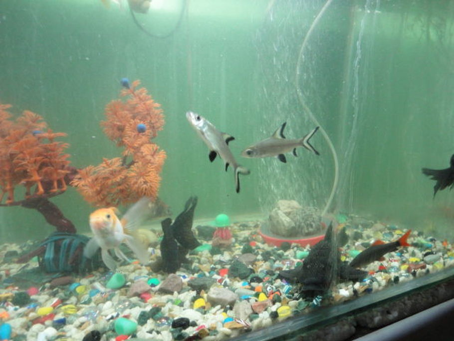 Fishlover86 39 s additional tank picture photo id 33164 for Rainbow shark fish