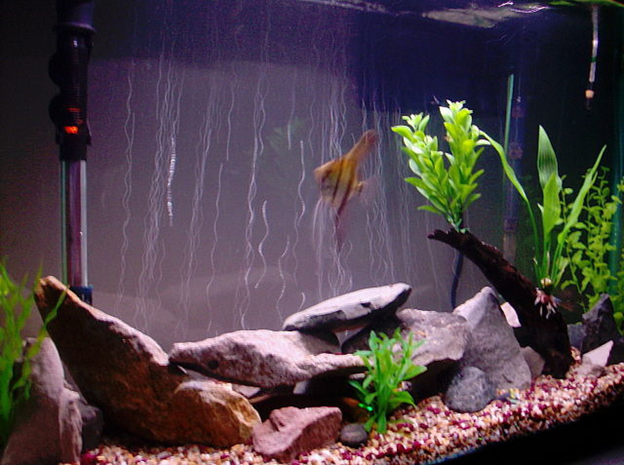 Sengdancing 39 s additional tank picture photo id 29710 for African rope fish