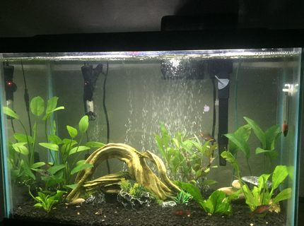 20 gallon planted with loaches barbs catfish and a blue ram