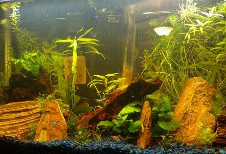 13G long Aquarium with Neon Tetras Ember Tetras Ghost and Red Cherry Shrimps Otocinclus HalfMoon Rosetail Betta Pygmy Cories Assassin Snails and Pond Snails