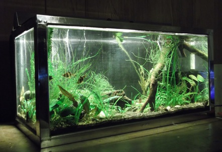 Pemco 15 Gallon Stainless steel frame tank with 9w CFL lighting in stainless hood Black sand Foam filter and Ohia wood branch Contains 5 tiger Barbs one green tiger barb two Normani Lampeyes Pipiwai Native Hawaiian freshwater opihilimpets and a few random shrimp