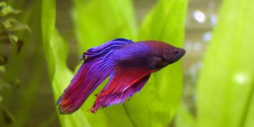 Common Myths About Bettas