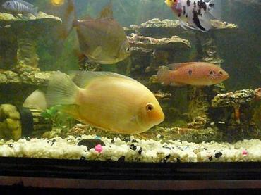 Everything you need to know about freshwater angelfish for Best freshwater aquarium fish combination