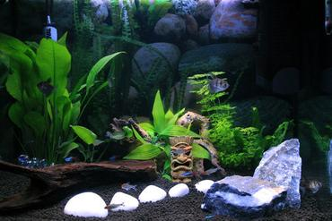 Types of Freshwater Aquarium Snails