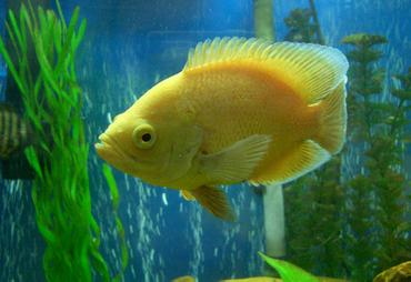 Famous Cichlid Tank Setup likewise The Ideal Tank Setup For Oscars further 36819 furthermore Identifying And Treating The Most  mon Cichlid Diseases furthermore 20 Gallon Aquarium Tank Only Innovative Marine 20 Gallon Nuvo Fusion Nano Aquarium Tank Only. on oscar cichlid tank setup