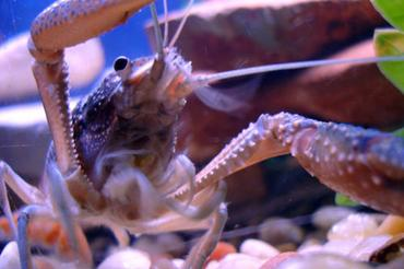 Species Spotlight: Keeping Freshwater Crayfish at Home