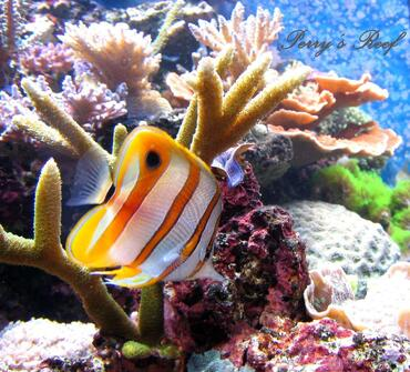 Choosing the Right Butterflyfish for Your Reef Tank