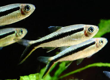 The Top 5 Tetras for Breeding in the Home Aquarium
