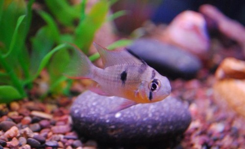 Common freshwater tropical fish diseases for Common freshwater aquarium fish