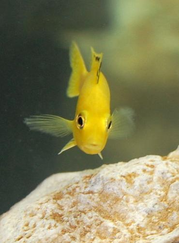 Breeding Mouth Brooding African Cichlids