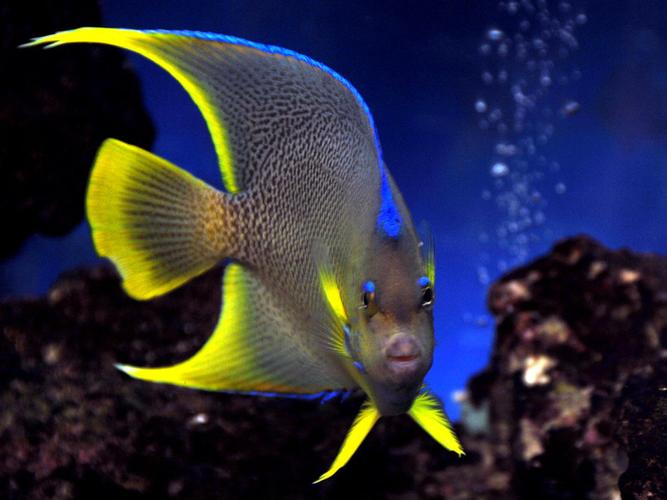 Selecting and Caring for Saltwater Angelfish