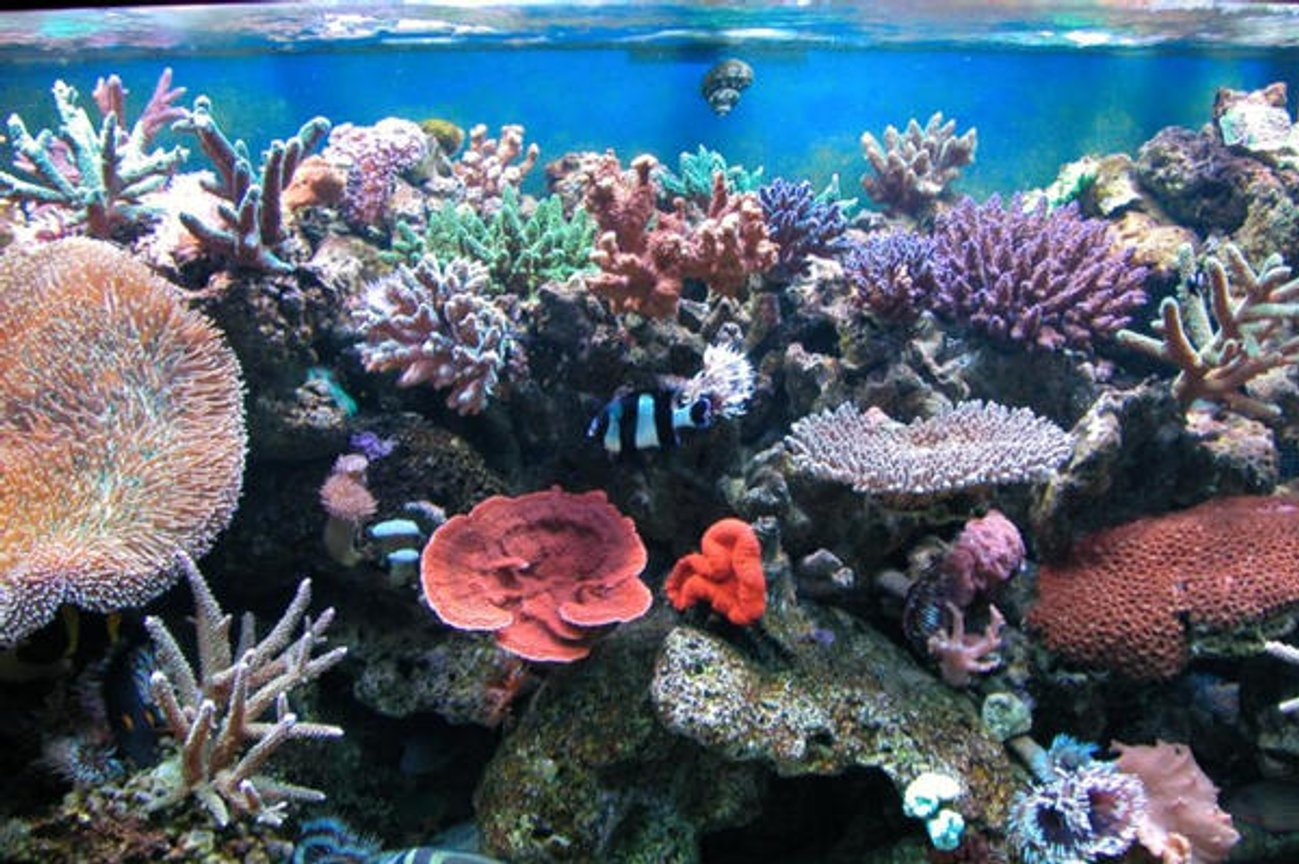 reef tank (mostly live coral and fish) - addicted reef bozo