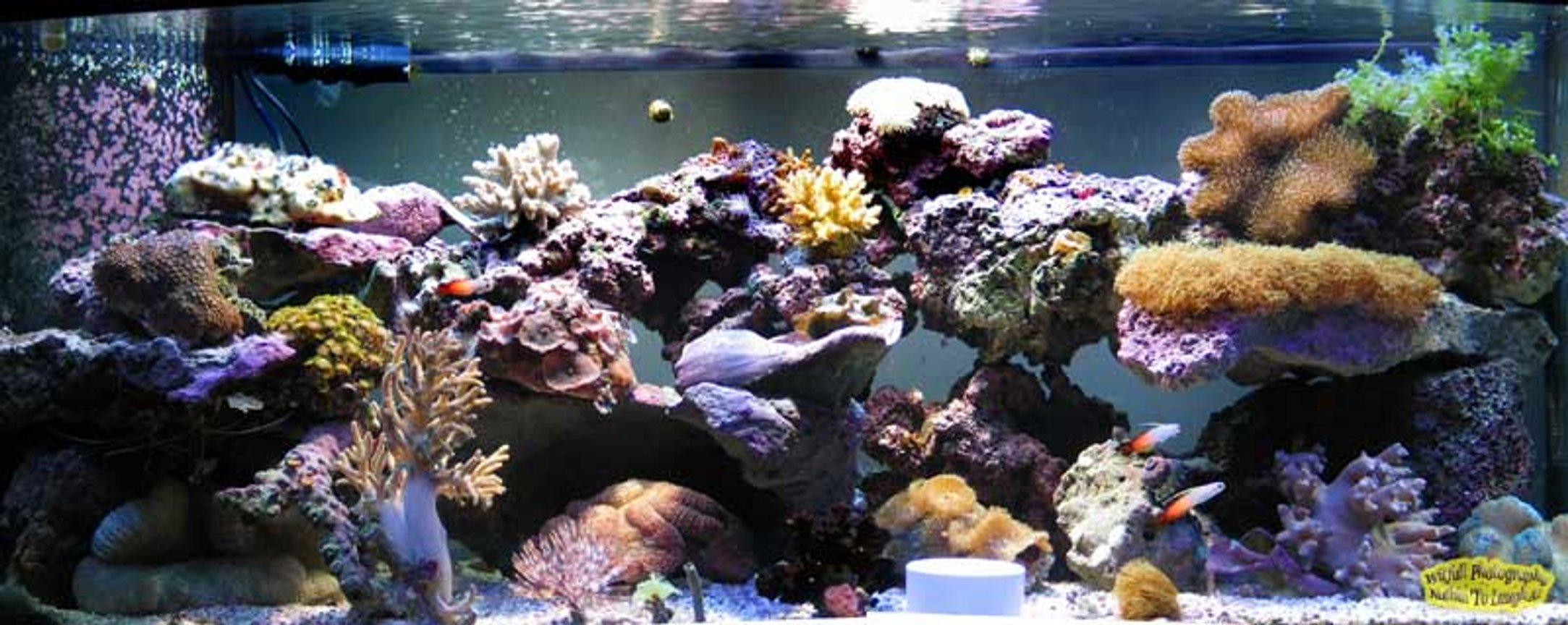 reef tank (mostly live coral and fish) - 72 bowfront reef