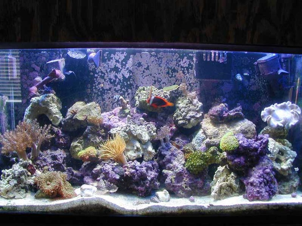 reef tank (mostly live coral and fish) - My 40 gal. tank and inhabitants. 175W MH + 4 X 55W PCs. Some SPS, softies and zoos.