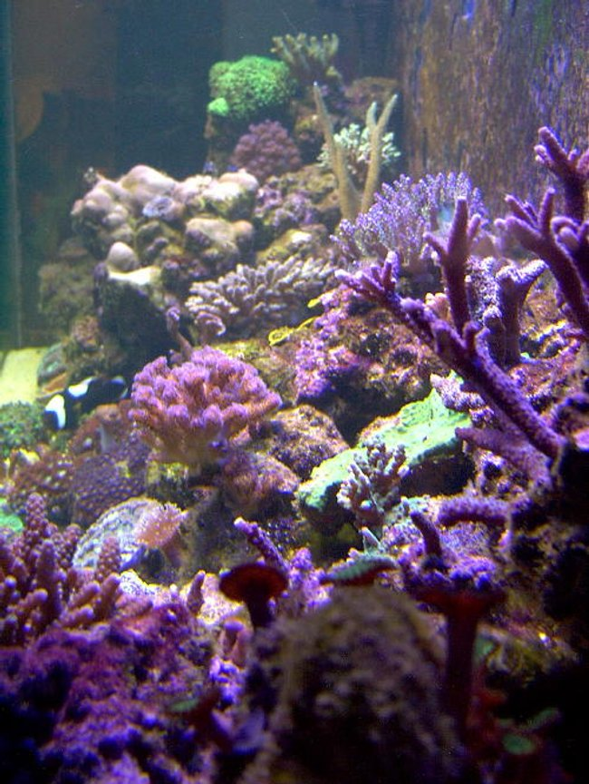 reef tank (mostly live coral and fish) - 125 reef