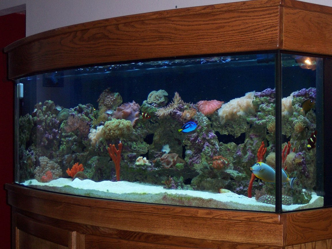 reef tank (mostly live coral and fish) - 150 gallon Bow front tank with Marroon Clowns, Chevron Tang, Hippo Tang, gobies,cleaner shrimp, fire scallop,sponges, frog spawns and many more corals.