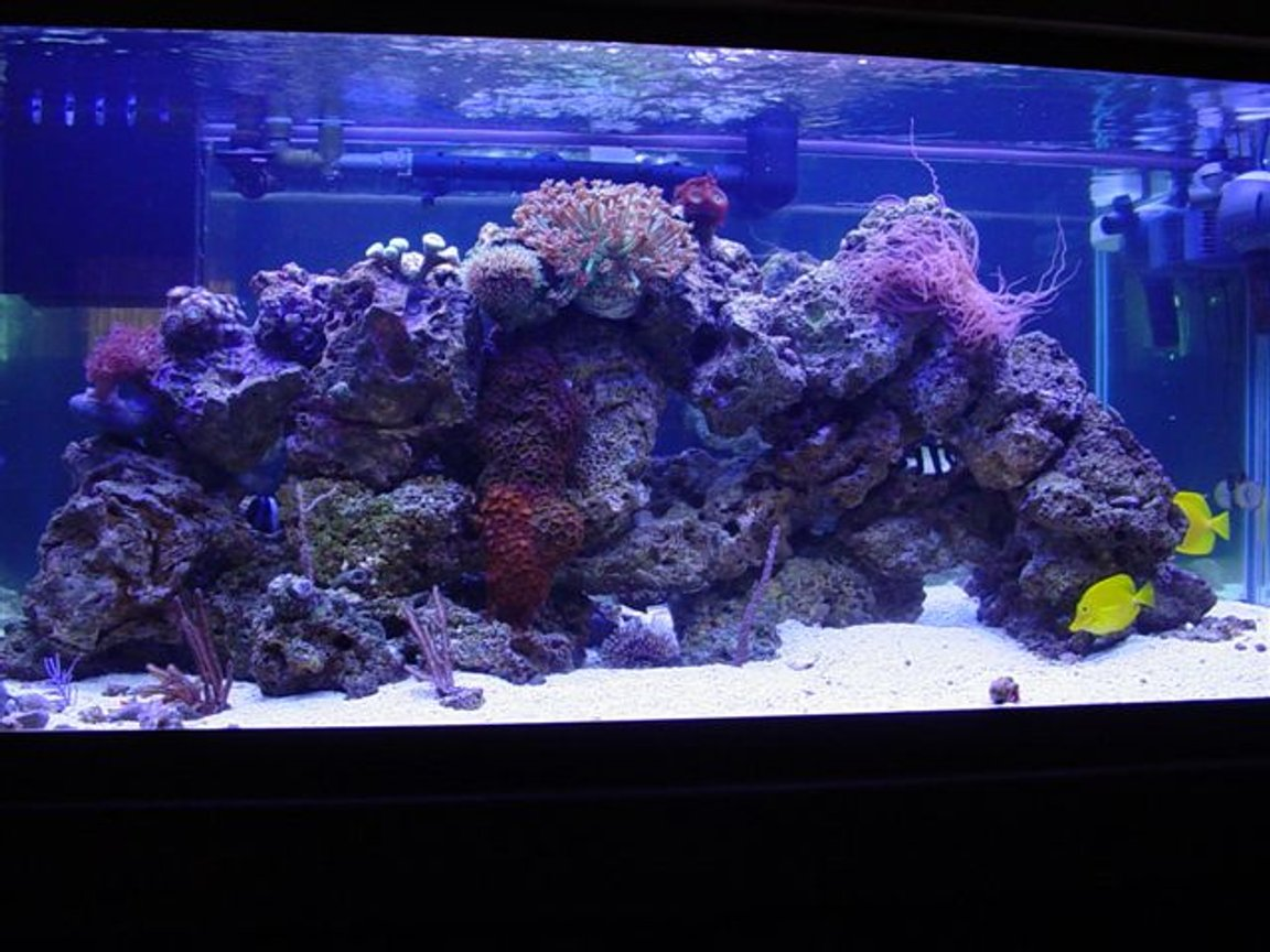"80 gallons reef tank (mostly live coral and fish) - 80 gallon reef and fish, 20 gallon wet/dry filter, CPR refugium, Rena Filstar XP3, Icecap 660 440 watt VHO, multiple circulation pumps. Fish 2 yellow tangs, Blue hippo tang, 3 and 4 stripe damsel, blue damsel,yellow clown goby, diamondback goby, Magenta dottyback, Percula clown, Orange linka Star, and my favortie a 14"" Serpant Star ""Scary Looking Giant"" Corals Candy cane, Pulsing steam Xenia, multiple zoos, Genus Goniopora coral, Star polyps, curley Q, multiple gorgonia and mushrooms."
