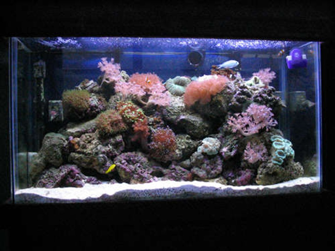 reef tank (mostly live coral and fish) - 30 gallon reef... after doing this for a little while I know now how wrong my early setup was.. (first pics).. stocklist: 6 line wrasse, blue chromis, 2 false perculas and a yellow clown goby. Also a shrimp, sand starfish and a cleanup crew...